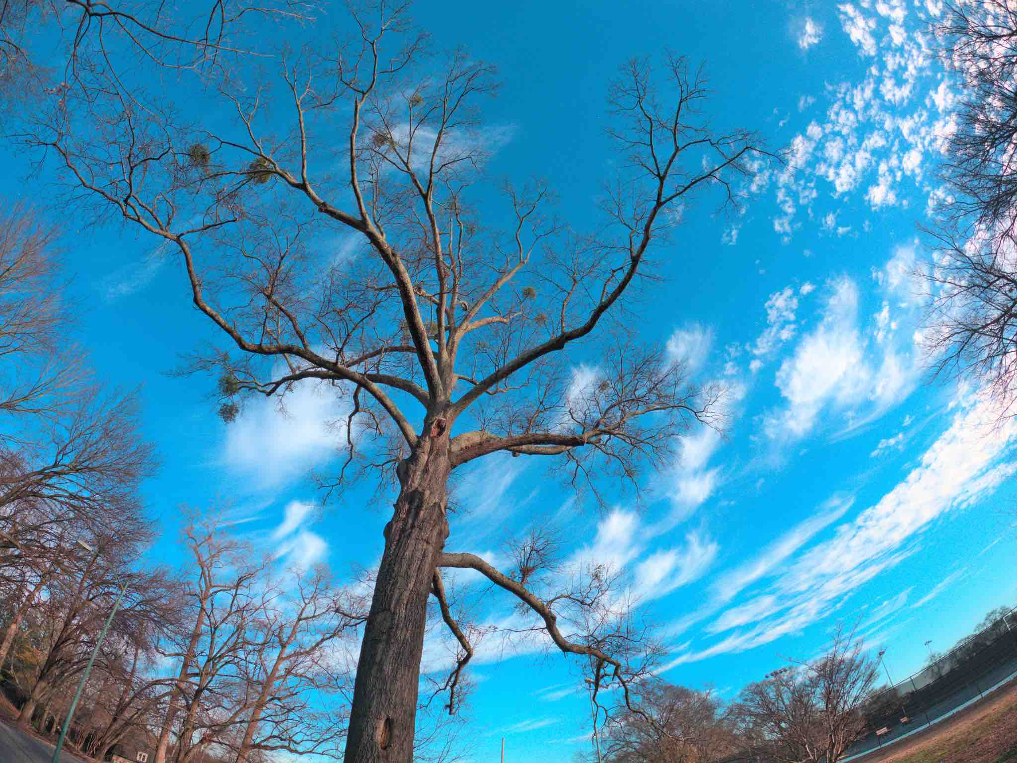 A photo of dormant treetop with a blue sky behind it. The photo was taken a few feet from the base of the tree and looks high up in the air.